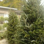 Christmas Trees at Graham's Produce